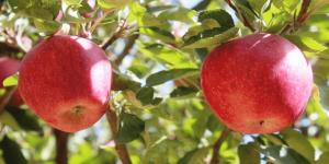 سیب : سرّ سلامتی